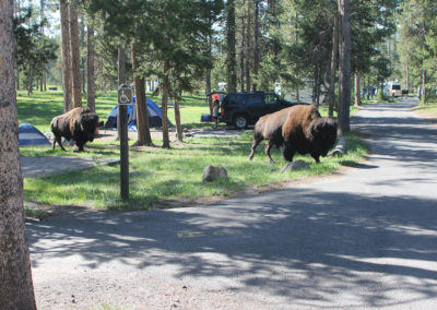 Bison Passing Through Norris Campground